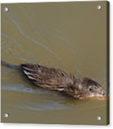 Muskrat Swimming In Lake With Mouth Open Underwater Acrylic Print