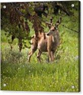 Mule Buck Deer Acrylic Print