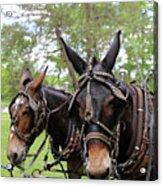 Mule Days 2 Acrylic Print