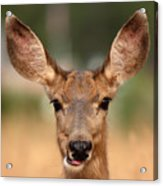 Mule Deer Being Playful Acrylic Print