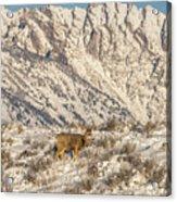 Mule Deer Buck In Winter Sun Acrylic Print