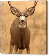 Mule Deer Buck Showing His Thoughts Acrylic Print