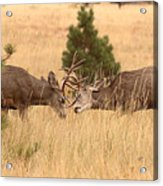 Mule Deer Bucks Sparring In Open Pine Woodlands Acrylic Print
