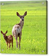 Mule Deer Doe And Fawn Looking Back Over Their Shoulders Acrylic Print