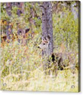 Mule Deer Doe In The Pike National Forest Acrylic Print