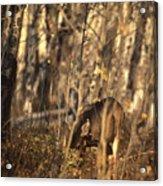 Mule Deer In Aspen Thicket Acrylic Print