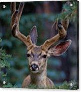 Mule Deer In Velvet 02 Acrylic Print