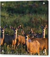 Mule Deer In Velvet 04 Acrylic Print
