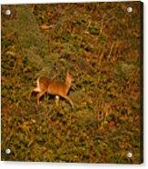Mule Deer - Mattole Beach Acrylic Print