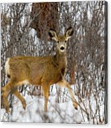 Mule Deer Portrait In Heavy Snow Acrylic Print
