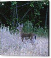 Mule Deer - Sinkyone Wilderness Acrylic Print