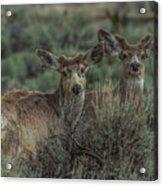 Mule Deer Visitors At Sunset Acrylic Print