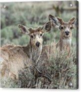 Mule Deer Visitors Acrylic Print