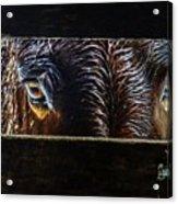 Mule Eyes Acrylic Print