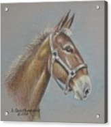 Mule Head Acrylic Print by Dorothy Coatsworth