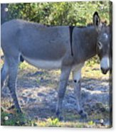 Mule In The Pasture Acrylic Print