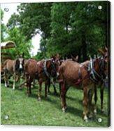 Mule Team Acrylic Print