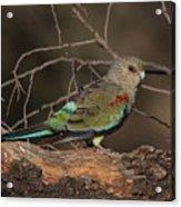 Mulga Parrot Female A Acrylic Print