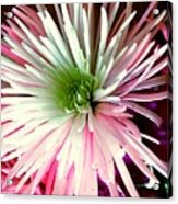 Multi Color Aster Acrylic Print