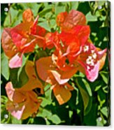 Multi-colored Bougainvillea At Pilgrim Place In Claremont-california  Acrylic Print