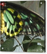 Multi-colored Butterfly Acrylic Print