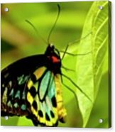 Multi Colored Buttrfly Acrylic Print