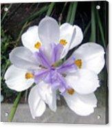 Multi-petal White Iris Flower. Very Unusual, Rare Form Acrylic Print