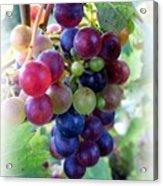 Multicolor Grapes Acrylic Print
