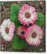 Multicolored Gerberas Acrylic Print