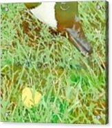 Munching On Green Grass Acrylic Print
