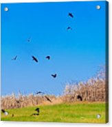 Murder Of Crows Acrylic Print