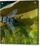 Musca On Display Acrylic Print