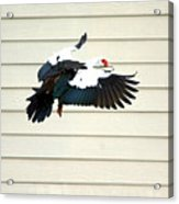 Muscovy Duck In Flight Passing A Building Acrylic Print