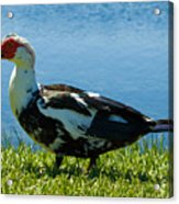 Muscovy Ducks Are Butt-ugly Acrylic Print