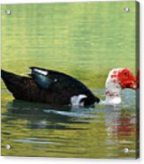 Muscovy Red Acrylic Print