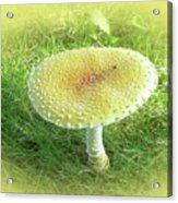 Mushroom - Amanita Muscaria Guessowii  Acrylic Print