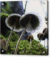 Mushrooms From Below Acrylic Print