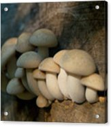 Mushrooms Growing Out Of Dead Tree Acrylic Print