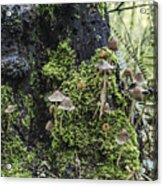 Mushroom Colony Acrylic Print