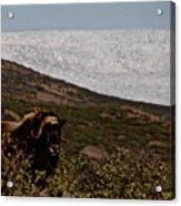 Musk Ox In Front Of Greenlandic Icecap Acrylic Print