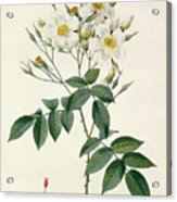 Musk Rose Acrylic Print by Pierre Joseph Redoute