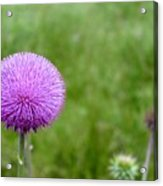Musk Thistle Bloom Cycle Acrylic Print