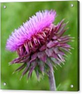 Musk Thistle Blooming Acrylic Print