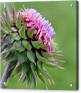 Musk Thistle In Bloom Acrylic Print