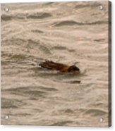 Muskrat In Lake Acrylic Print
