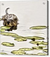 Muskrat Love Acrylic Print