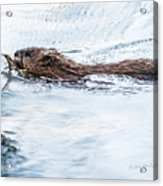 Muskrat Spring Swim Acrylic Print