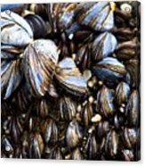 Mussels Acrylic Print