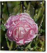 Must Have Been The Roses Acrylic Print