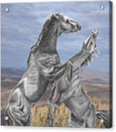 Mustang Battle Acrylic Print